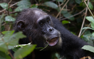 Eastern chimpanzee feeding on vines in Gombe National Park, Tanzania